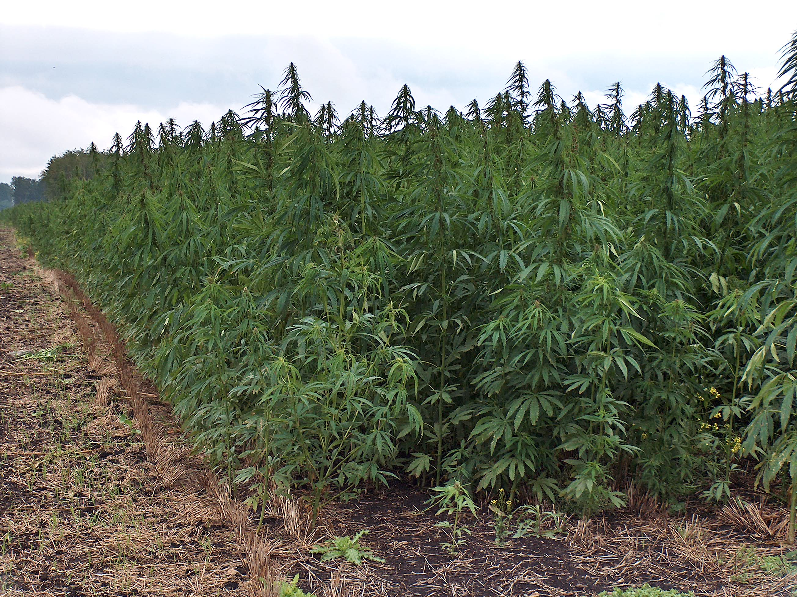 Industrial hemp is a growing industry in Mesa County, Colorado